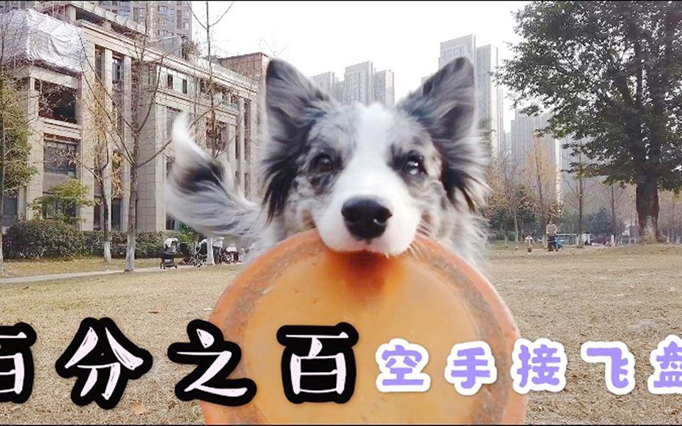 玩飞盘_边牧上演百分百空手接飞盘,网友:飞盘买好了,请问狗在哪里 ...