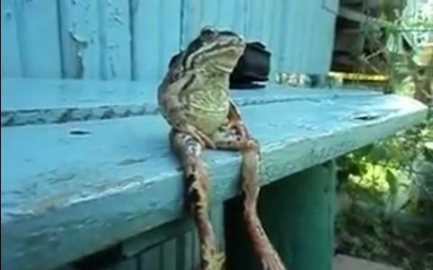 夭寿啦,青蛙成精了!