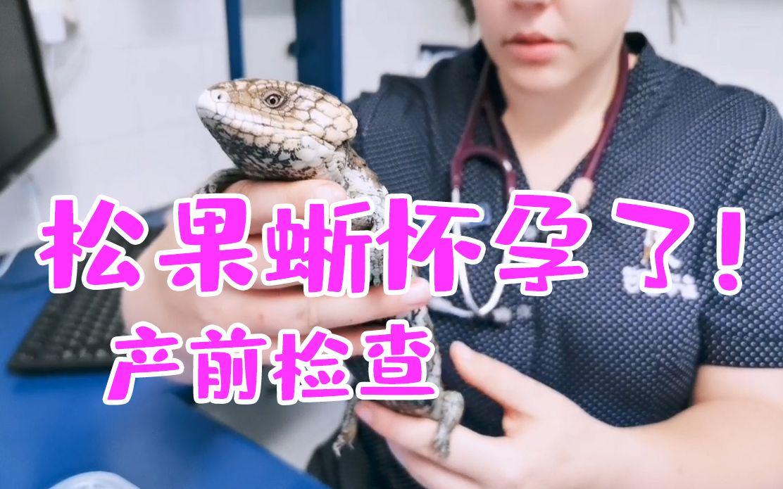 【松果蜥怀孕了?!】突发,松果蜥肚子竟然大了,家说爬宠特别篇,带松果蜥们看医生,爬宠孕期知识分享