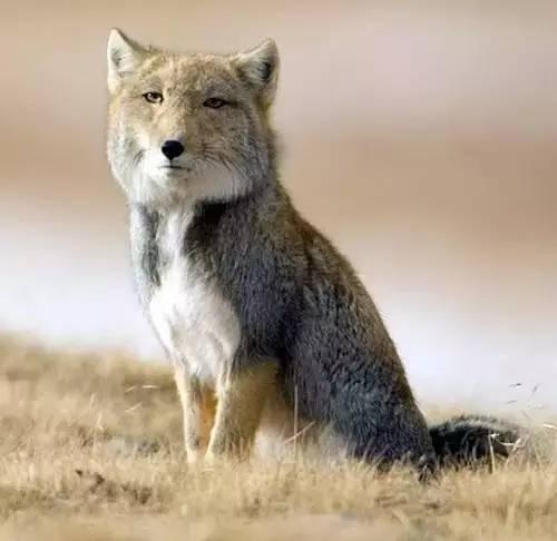 事么_藏狐:我想.你有什么事吗?