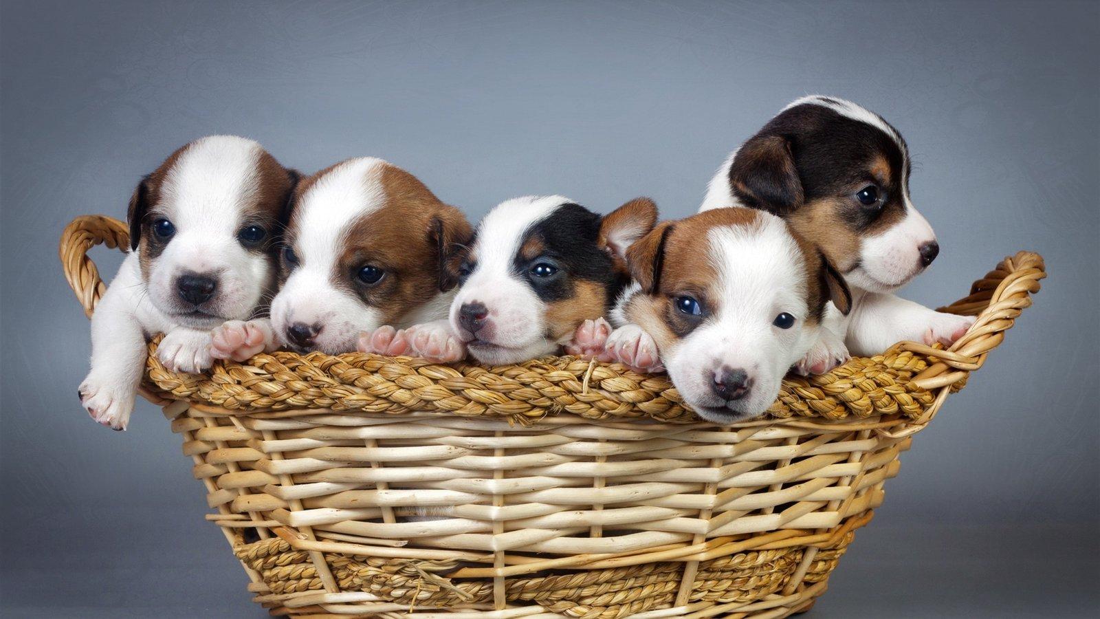 动物性较大全狗_最全的狗狗智商排名,1-79名全集,第27名那个太强了!结尾有