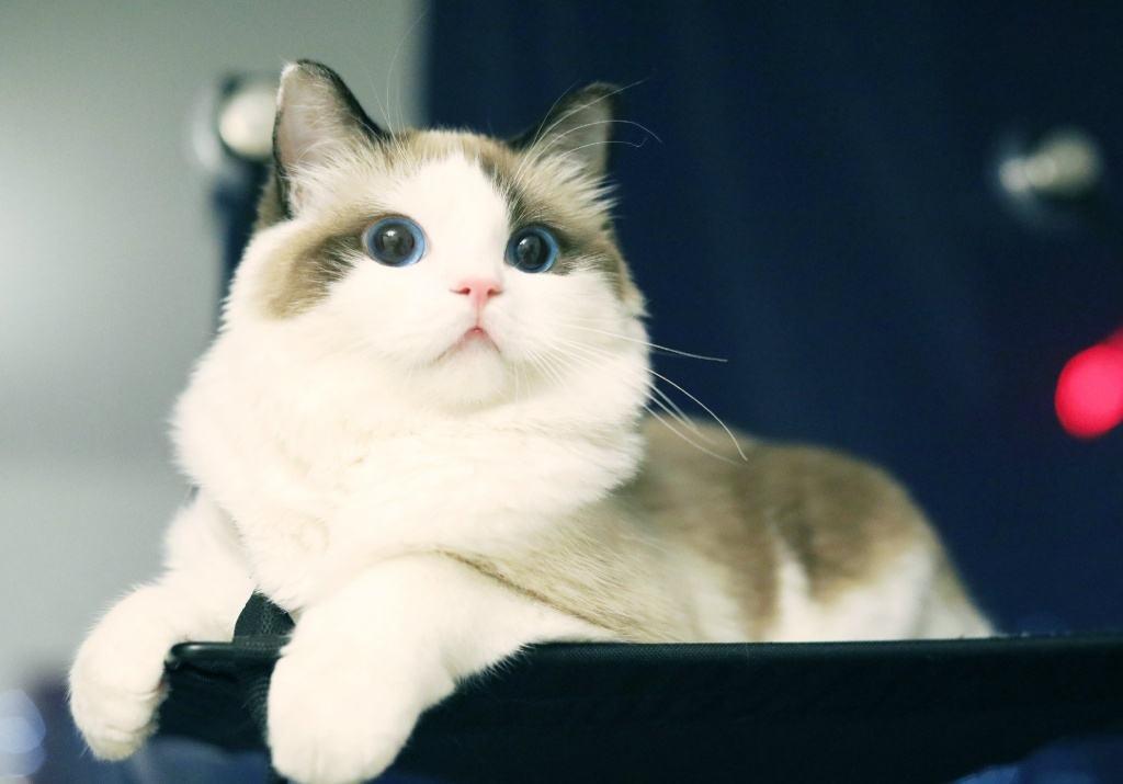日本田园猫_而娘口三三是所谓的田园猫,就是小野猫,按道理猫有三色必为母,就是说