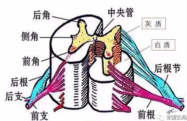 脊髓空洞症感觉障碍的定位诊断-小柚妹站