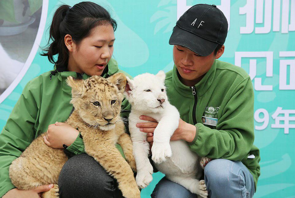 2019年4月4日,南通森林野生动物园内,一场特别的动物见面会上演,白狮
