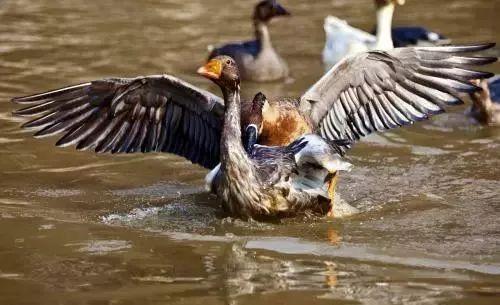 男和女再水里交配_灰雁习惯于在水里交配,雌雁会向着雄雁把头伸直,代表自己当下愿意